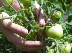 Diagnozė: pomidorams ir agurkams reikia vaistų